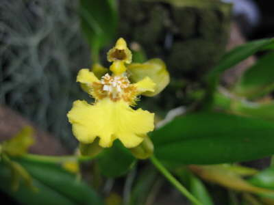 Oncidium logipes
