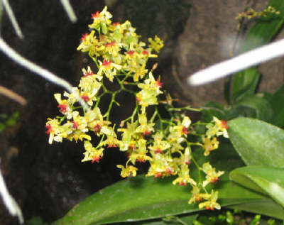 Oncidium cheiroph x ornith yellow